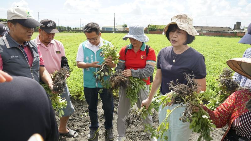 ▲立委蘇治芬首先到花生農田,花生腐壞發芽受損率均達50%以上。(圖/記者蘇榮泉攝,2020.05.31)