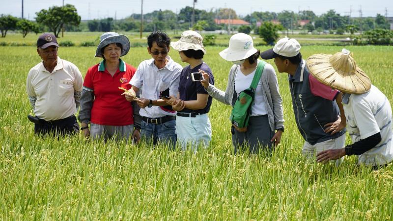 ▲立委蘇治芬(左43)農改場官員實地勘查水稻「空炮彈」的情形。。(圖/記者蘇榮泉攝,2020.05.31)
