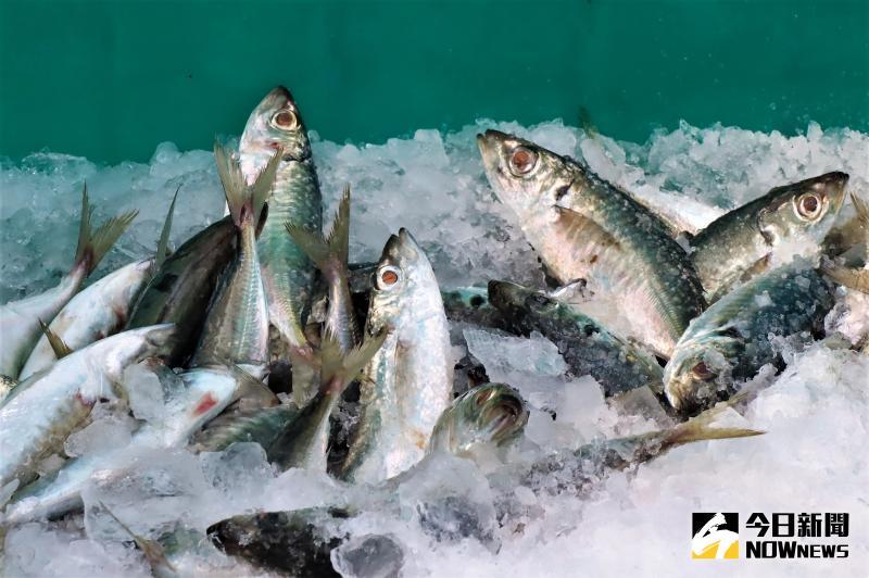 ▲有些漁船早上在馬公第三漁港高價收購魚貨,包括七星斑、玳瑁石斑、鳳螺等具經濟價值的漁獲,還摻雜養殖用竹筴魚(巴郎)、午仔魚。(圖/記者張塵攝,2020.06.01)