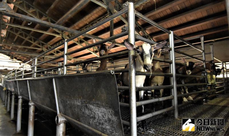 ▲彰化縣乳羊場共計29場,乳羊養頭數計4,526頭,全國佔比率為11.1%。(圖/記者陳雅芳攝,2020.06.01)