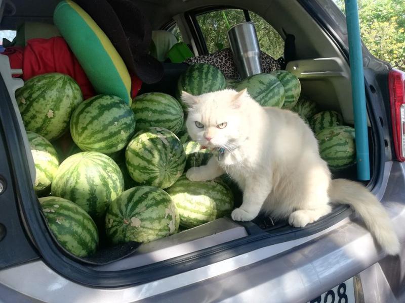 西瓜攤<b>貓老闆</b>表情「五告派」 瞪到客人心裡發寒:快點買