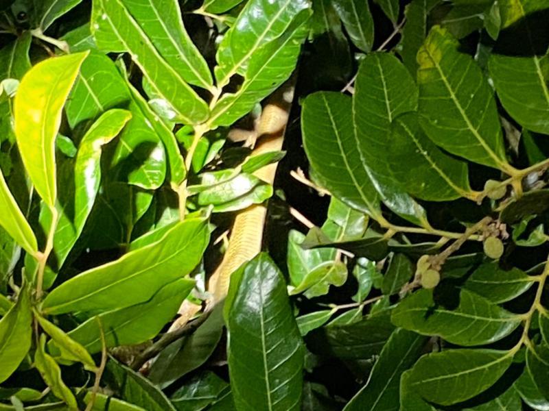 ▲臭青母被發現時已經被電死掉落在一旁的樹叢內。(許文萍提供