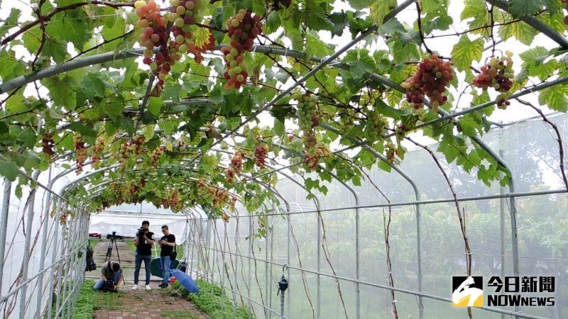 ▲埔心鄉農會在農會後方打造一條近百公尺的「蜜紅葡萄」隧道,吸引民眾到農會打卡拍照。(圖/記者陳雅芳攝)