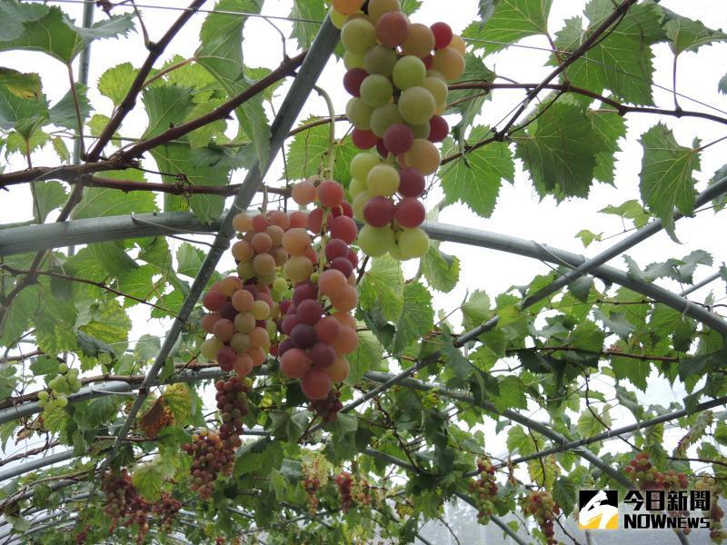 ▲蜜紅葡萄皮薄多汁,且有淡淡的香水味,又名香水葡萄。(圖/記者陳雅芳攝)