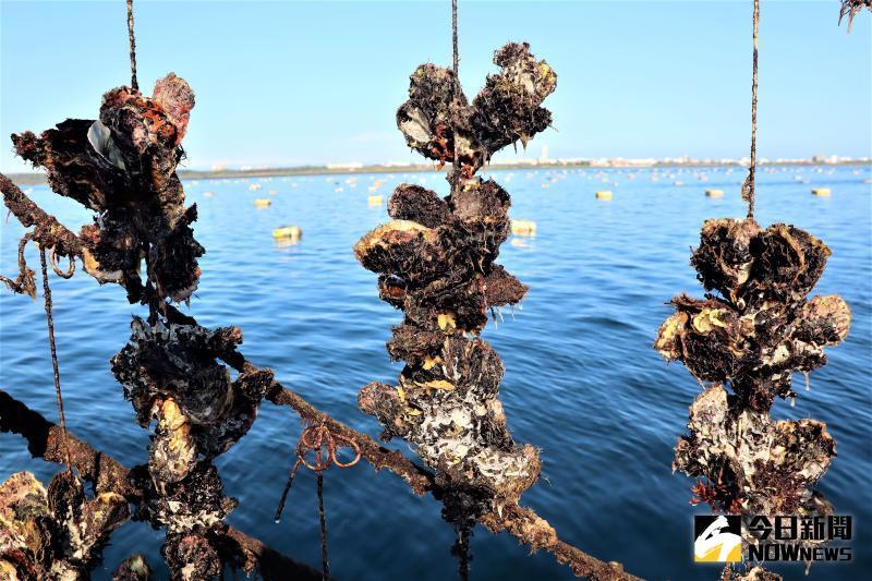 ▲澎湖海域的牡犡總放養面積約120多