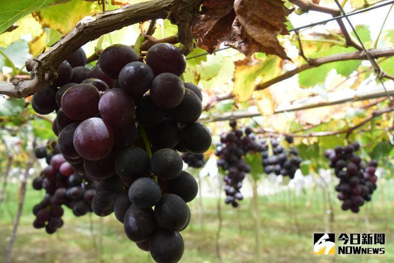 ▲目前正值葡萄產季,台灣的葡萄有一半都是來自彰化,大村更是巨峰葡萄最早的產地。(圖/記者陳雅芳攝,2020.06.05)