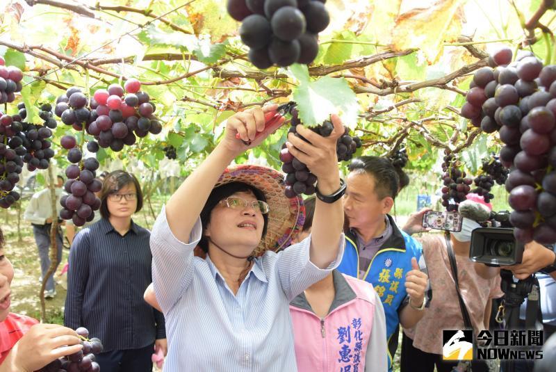 ▲彰化縣長王惠美化身農婦在果園採收葡萄。(圖/記者陳雅芳攝,2020.06.05)