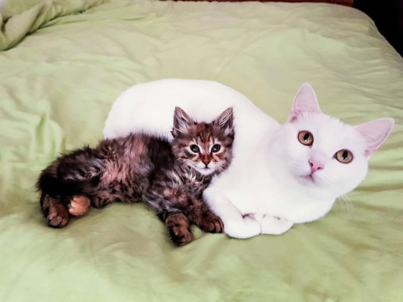 本想送養小虎斑 家中白貓卻超寵溺牠:偶要收編當小妹!