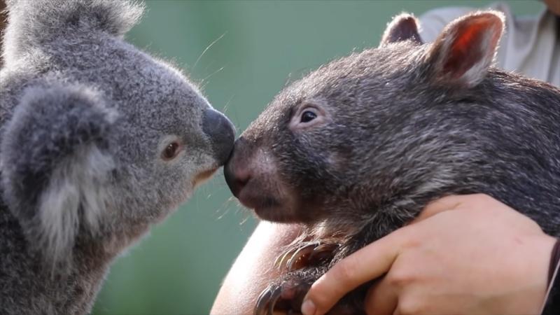 ▲因為這次疫情關係,艾莎和霍普意外成為好朋友。(圖/Youtube@Australian