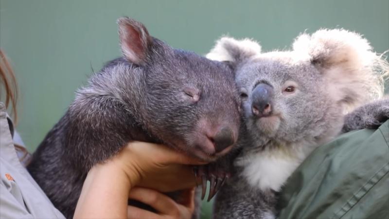 動物園閉館太久 樹上生活的無尾熊和穴居袋熊黏成好朋友!