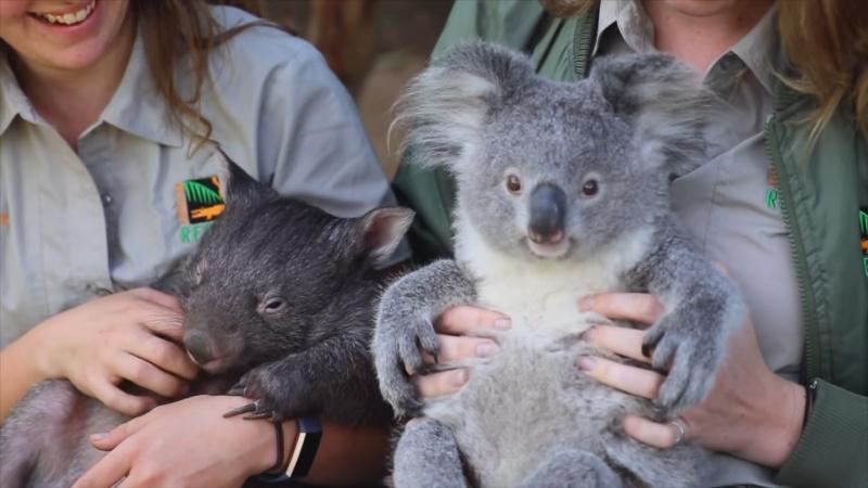 ▲袋熊是在地面上和地穴中生活,而無尾熊是在樹上生活的動物,兩者有許多不同之處。(圖/Youtube@Australian
