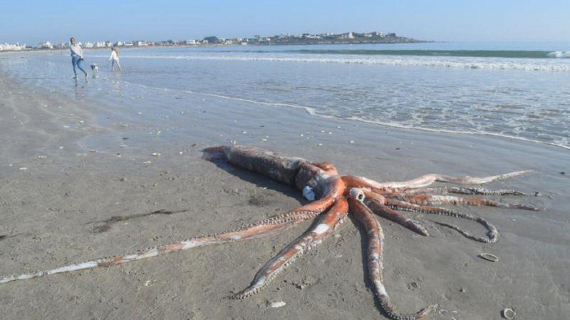 ▲日前南非沙灘發現 4 公尺的大王烏賊遺骸。(圖/翻攝推特)