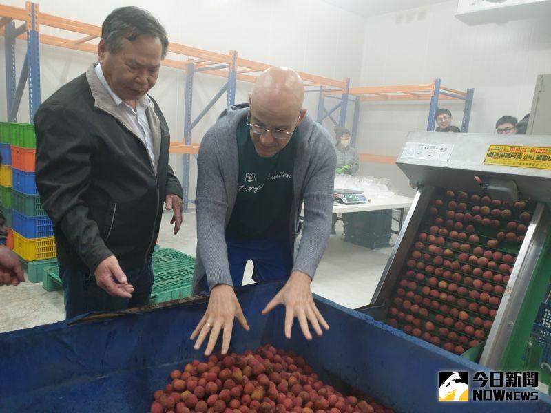 ▲台中市農業局長蔡精強為吳鳳介紹冷鏈荔枝從樹上摘下,