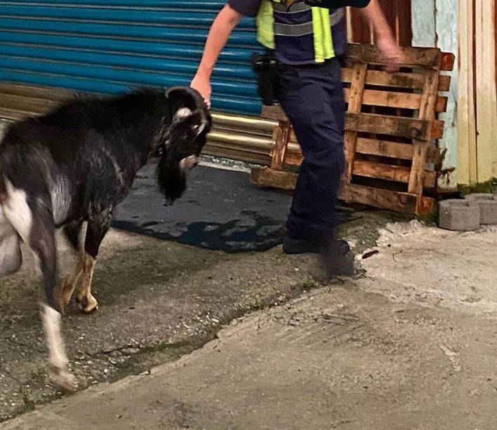 ▲畫面中可以看到黑羊對上赤手空拳的警察。(圖/翻攝自臉書「爆料公社」)