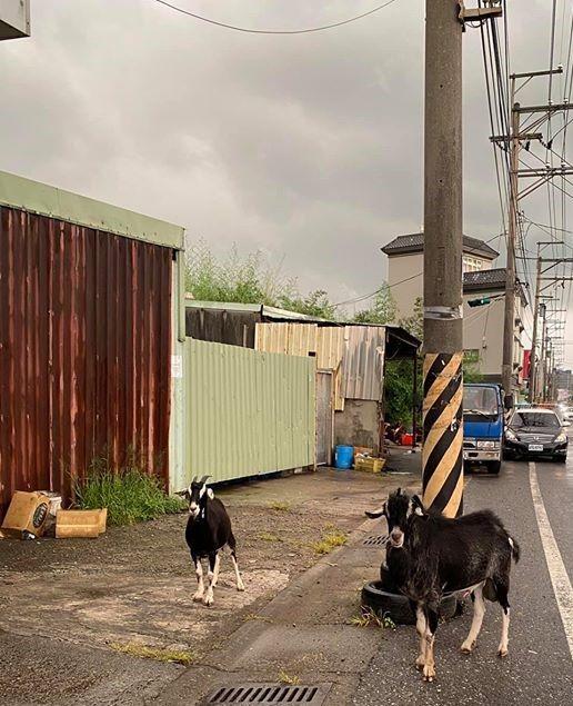 ▲桃園街道上有兩隻社區的「惡霸」時常困擾用路人。(圖/翻攝自臉書「爆料公社」)