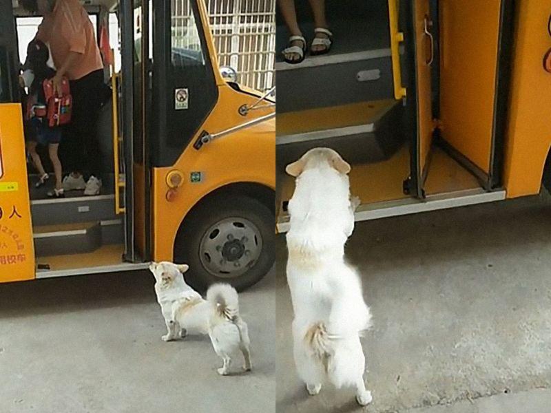 狗褓姆每天護送小主人上下學 準時到爸媽都被比下去!