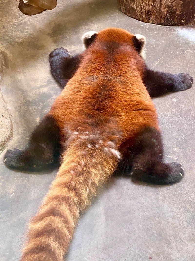 ▲小熊貓趴睡的姿勢令網友驚呼好可愛!(圖/Twitter@gorilla_iro_no)