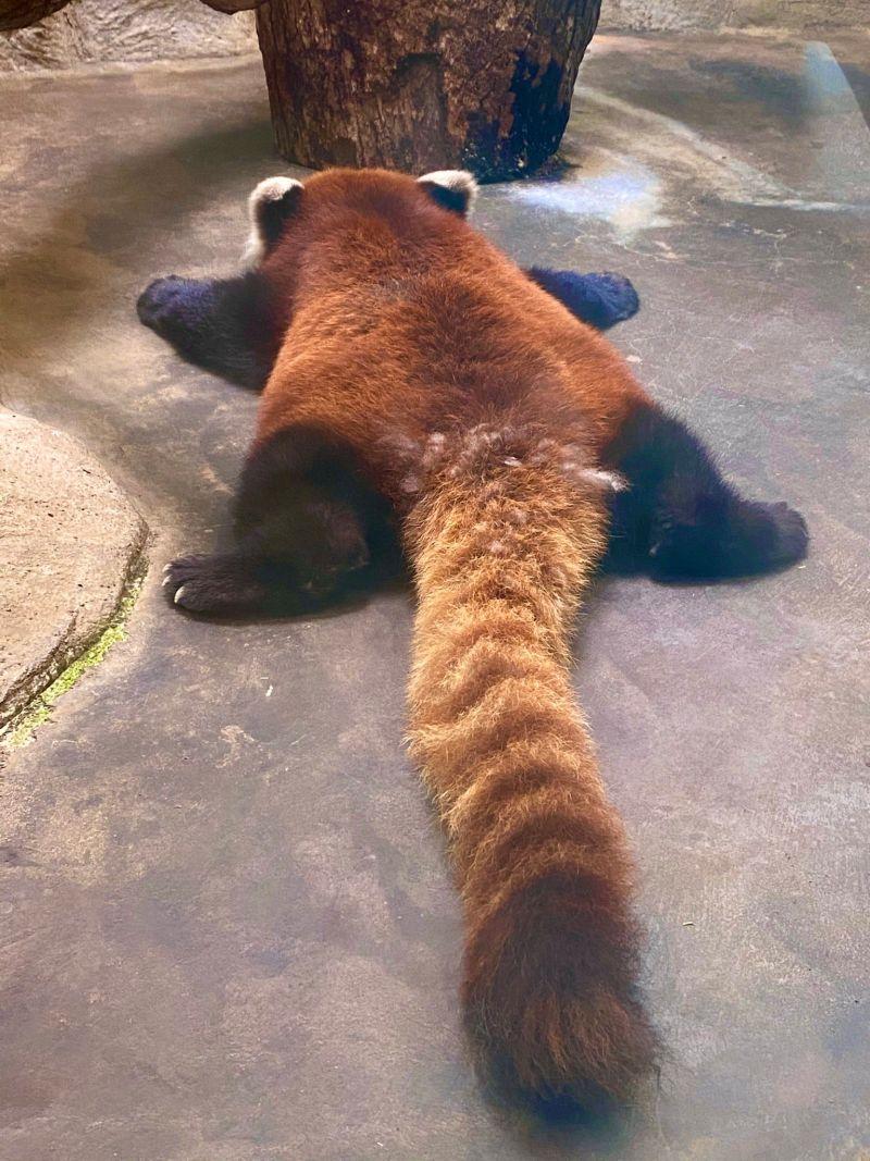 ▲身體扁得像小熊貓造型地毯(圖/Twitter@gorilla_iro_no)