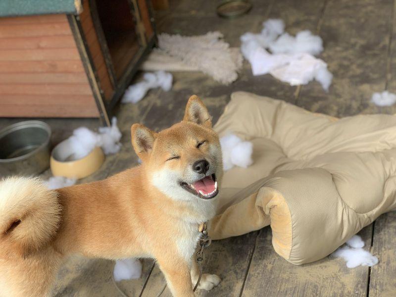 回家驚見「莫名下雪」 柴柴瞇眼燦笑主人嘆:你贏了!