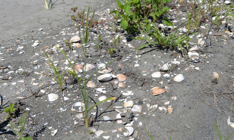 ▲廢物再利用,文蛤殼發揮固沙功能。(圖/記者蘇榮泉攝,2020.06.16)