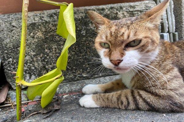 ▲網友蘇小姐在路上遇見一隻裝碰瓷的三花貓(圖/網友蘇宥勻授權提供)