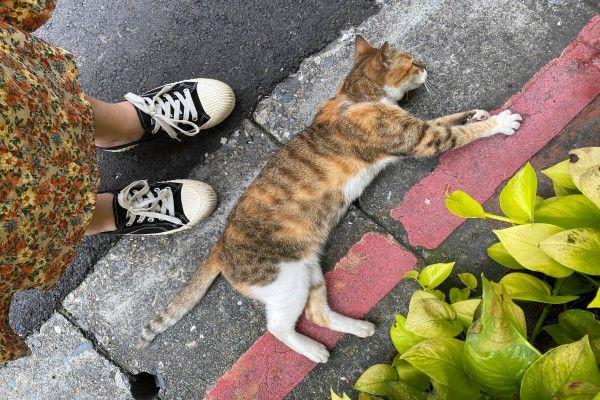 ▲沒想到三花貓一來就立刻在腳邊裝碰瓷(圖/網友蘇宥勻授權提供)