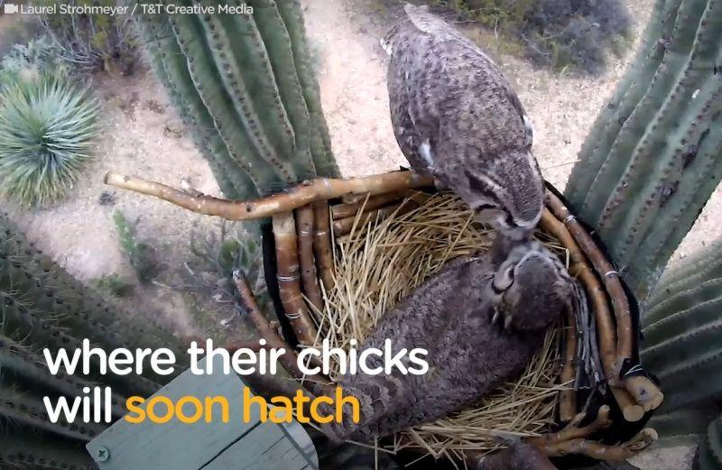 ▲兩隻貓頭鷹不久後飛回巢裡團聚。(圖/Facebook@The