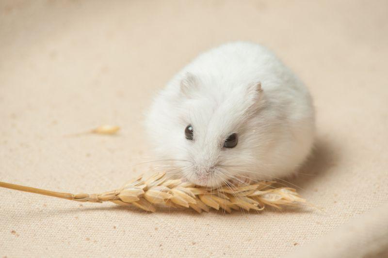 ▲東京大學研究發現,倉鼠感染COVID-19 後出現的症狀類似人類。(圖/翻攝自 Gex )