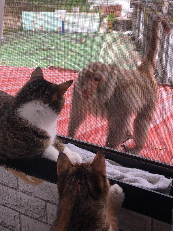 ▲猴子:小姐好漂亮,交個捧油好嗎?這附近都是本大王的領土,要不要一起出來玩?(圖/網友Man