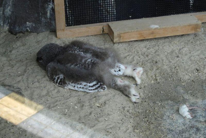 ▲國外網友分享貓頭鷹的奇特睡姿,引發熱議。(圖/翻攝自@reviewwales的推特)