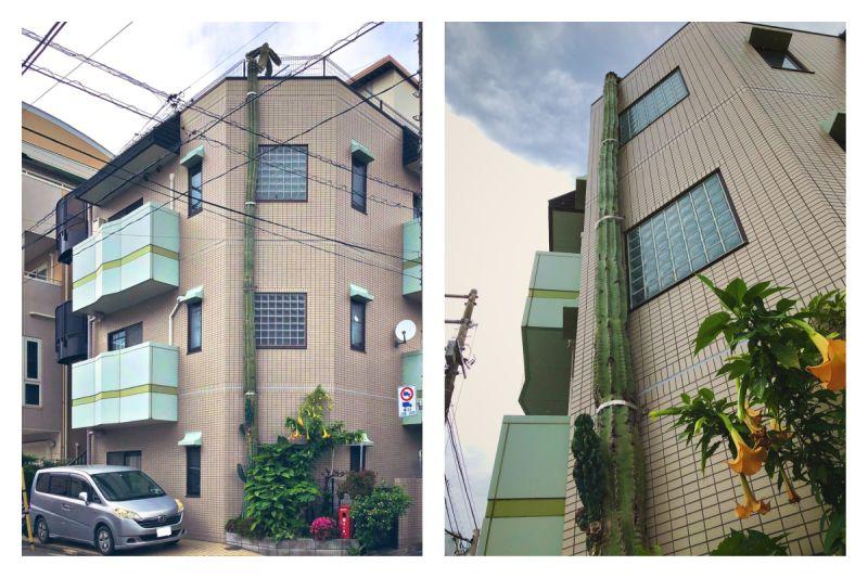 ▲日本網友拍下這株神奇的仙人掌,從路邊沿著公寓一路長到 3 樓屋頂。(圖/翻攝自@Passion0的推特)