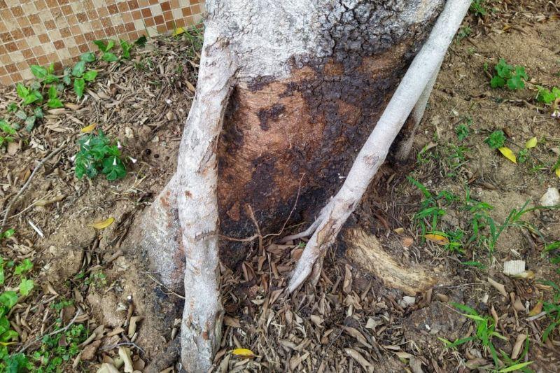 林木罹患褐根病
