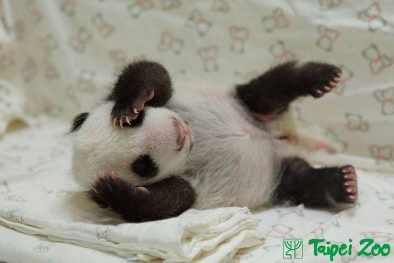 ▲大貓熊圓仔小時候的可愛模樣。(圖/翻攝自台北市立動物園粉絲專頁)
