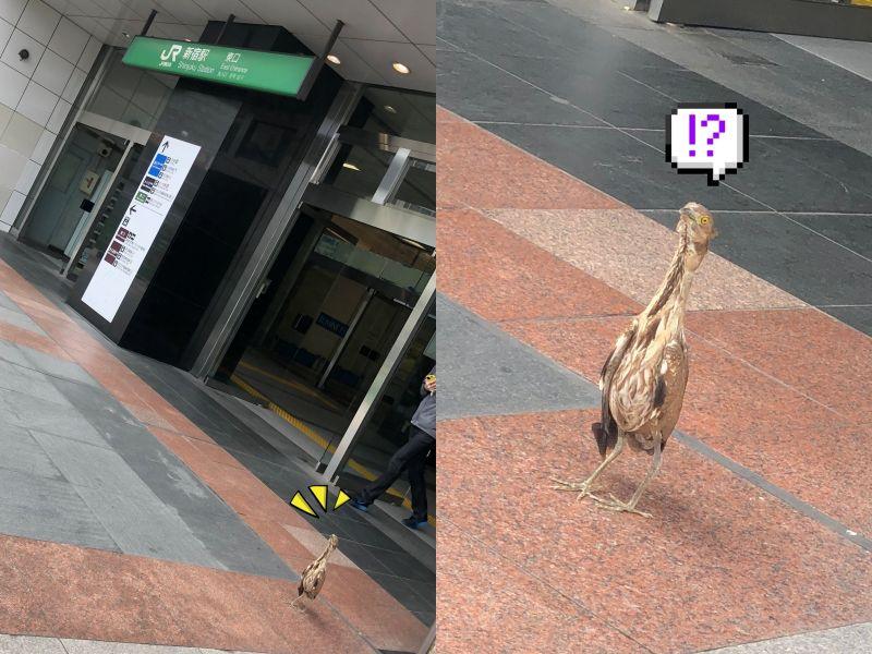 繁忙的新宿車站竟出現神秘鳥!牠一臉懵:我是誰我在哪?