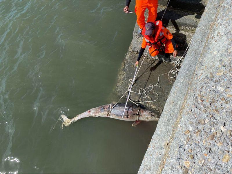 ▲擱淺在彰化線西河道口的弗氏海豚,被漁民、岸巡人員發現時,全身有多處咬痕、身體出現腐爛跡象。(圖/記者陳雅芳翻攝,2020.06.30)