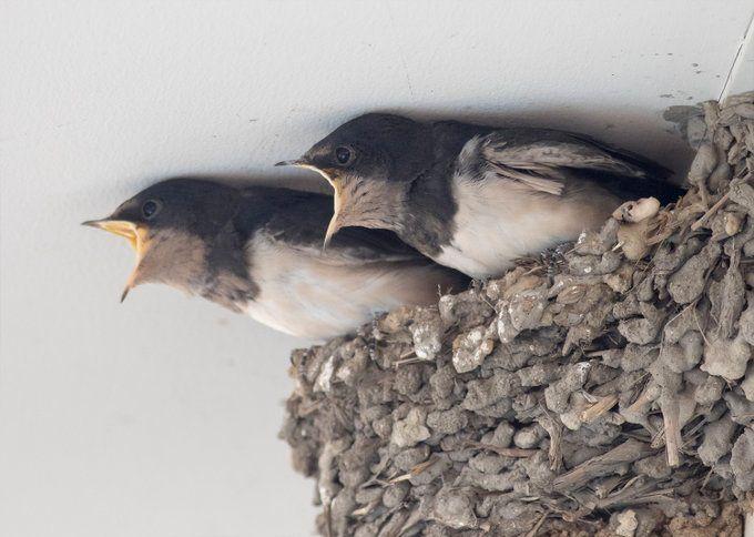 ▲日本一位攝影師拍下在巢中嗷嗷待哺的雛鳥,期待落空後的表情變化,讓網友都笑翻了。(圖/翻攝自@KE_mi的推特)