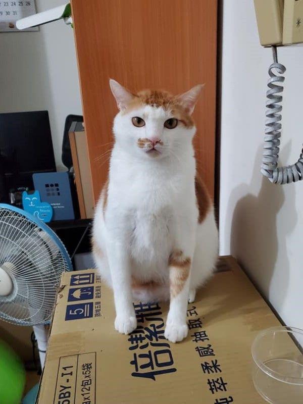 ▲網友鍾先生飼養了一隻個性很好的橘白貓「小跩」(圖/網友鍾宏玠授權提供)