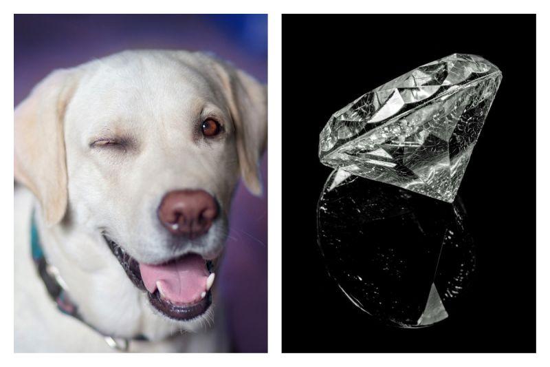 拉布拉多懂吃!<b>吞</b>下要價近60萬元的鑽石 主人好崩潰