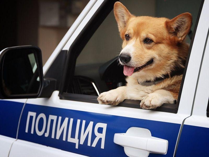 俄羅斯唯一柯基<b>警犬</b>退休 動作超靈活:偶還可以工作啦