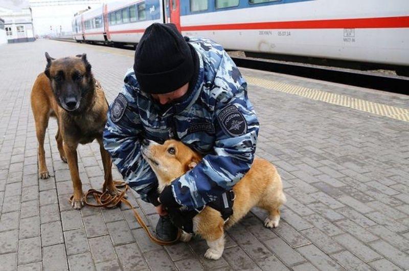 ▲在火車站、公車站工作了7年多,日前正式宣布退休。(圖/IG@corgi_police_dog)