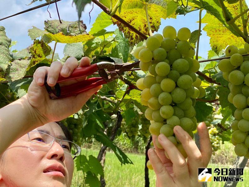 ▲體驗營是由8家酒莊分組接待參加的民眾,讓民眾親自透過採葡萄。(圖/記者陳雅芳攝,2020.07.04)