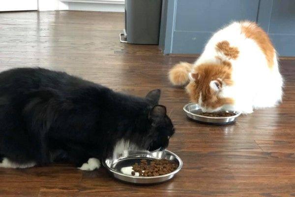 ▲自從牠被瑞秋發現後就完全不躲了,大剌剌地跟瑞秋的愛貓艾德一起吃飯(圖/FB@Rachael