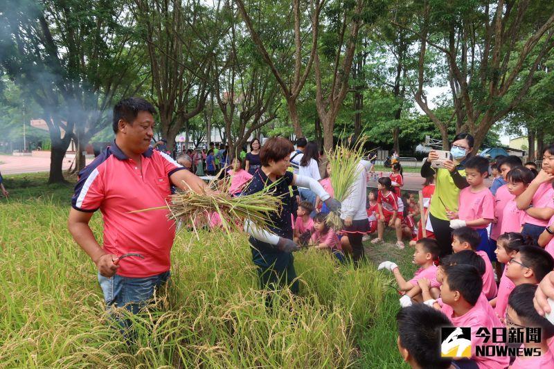 ▲青農現場指導學童用鐮刀割稻。(圖/記者陳雅芳攝,2020.07.07)