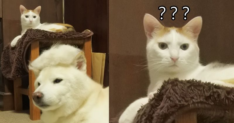白柴無奈戴上<b>狗毛</b>假髮 貓咪滿臉不可思議:到底看了什麼