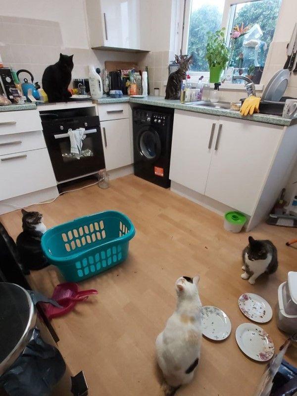 ▲住在英國的女子漢娜某天進入廚房時,發現五隻貓咪疑似正在「聚會」,但其實她只養了三隻貓咪!(圖/FB@Hannah