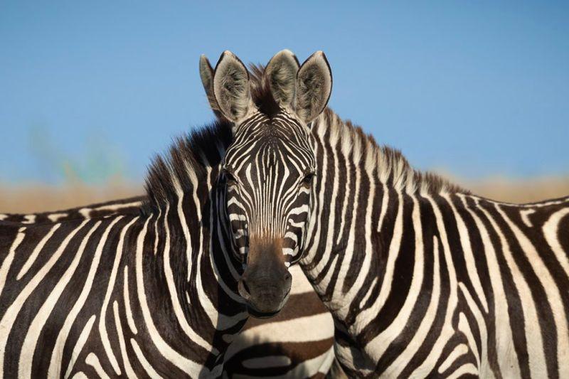 ▲你能夠看出面對鏡頭的是哪隻斑馬嗎?(圖/翻攝自@saroshlodhi的推特)