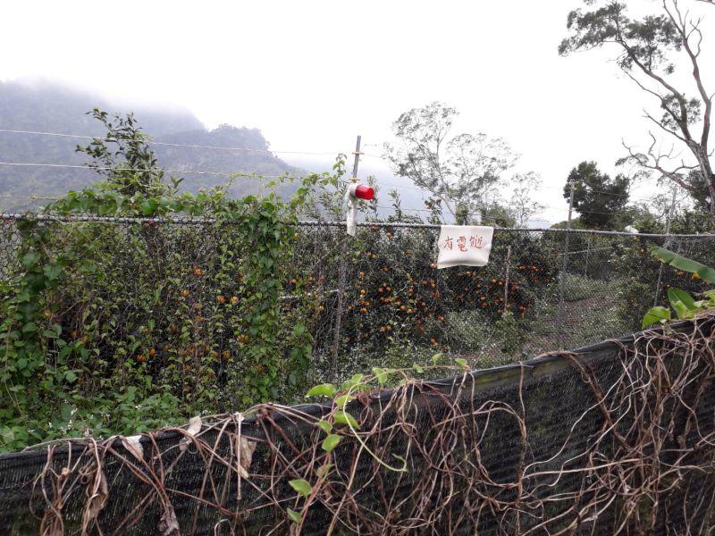 太平枇杷專區遭猴群「搶收」 農民深受猴害