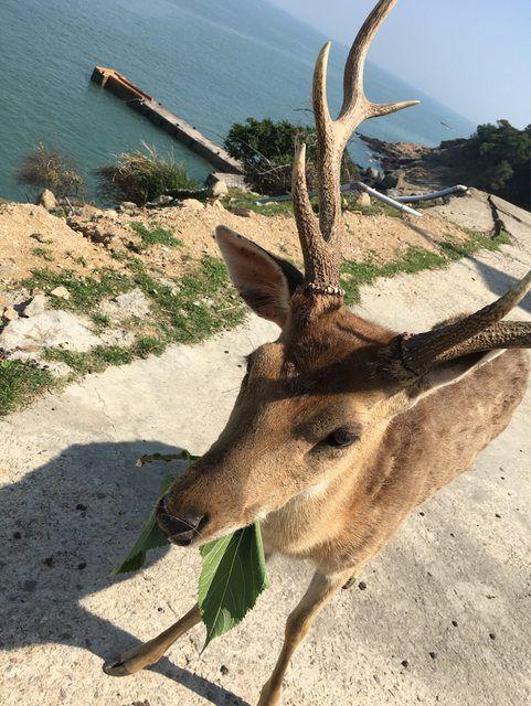 ▲馬祖大坵島可愛梅花鹿。(圖/翻攝PTT)