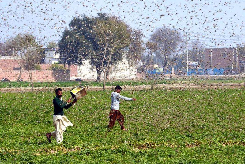 印度蝗災27年來最嚴重 當地居民拍下蝗蟲覆蓋天空景象