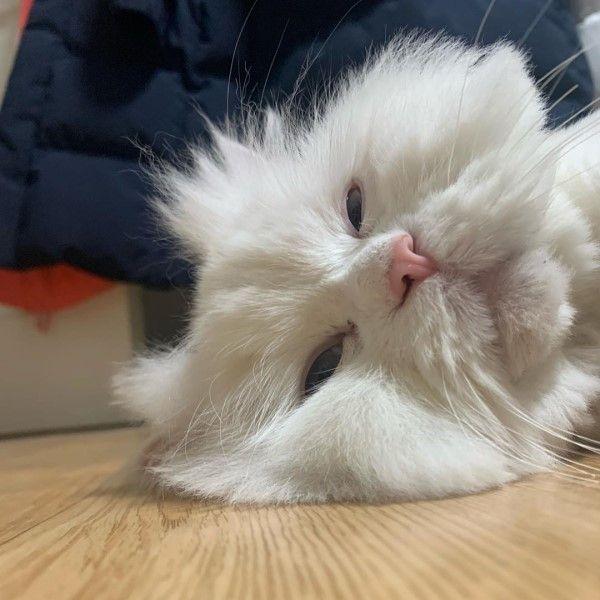 ▲蘇甲:貓生好難啊,還是睡覺好了!(圖/IG@malsook03.01)